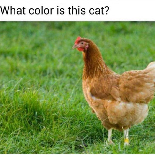 What colour is this cat? (It's a chicken)